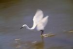 Snowy egret, Ding Darling National Wildlife Refuge, Florida, USA