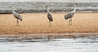 Sandhill Crane Migration Day 2, Aldo Leopold Foundation,  Fall/Winter 2016 | Photos by Greg Dixon