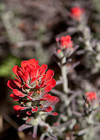 A red indian paintbrush seems to be handing the viewer a bundle of flowers.  From Greg's and my hike in Upper Hot Spring Canyon in the Cleveland National Forest.
