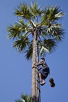 Myanmar, Burma, near Bagan.  Climbing a Sugar Palm (Toddy Palm, Borassus Flabellifer) to Collect the Juice.