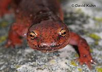 0610-0842  Northern Red Salamander, Pseudotriton ruber ruber  © David Kuhn/Dwight Kuhn Photography