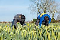 Migrant labour harvesting daffodils - Lincolnshire, February