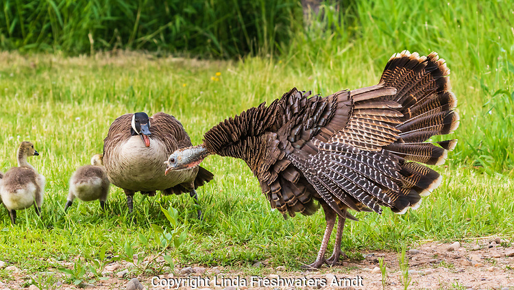 Confrontation between a hen turkey and Canada geese.