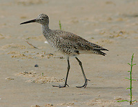 Adult willet in breeding plumage walks on beach at Rockport, TX