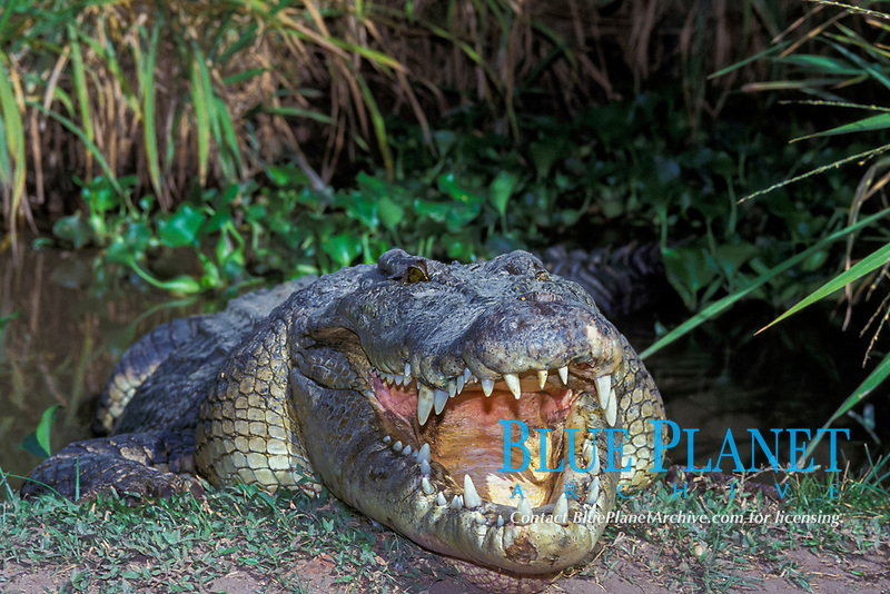 saltwater crocodile, Crocodylus porosus (c) gapes to thermoregulate (evaporation from mouth cools the brain as the sun warms the body) Queensland, Australia