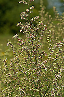 Gewöhnlicher Beifuß, Beifuss, Blatt, Blätter, Artemisia vulgaris, Mugwort, common wormwood