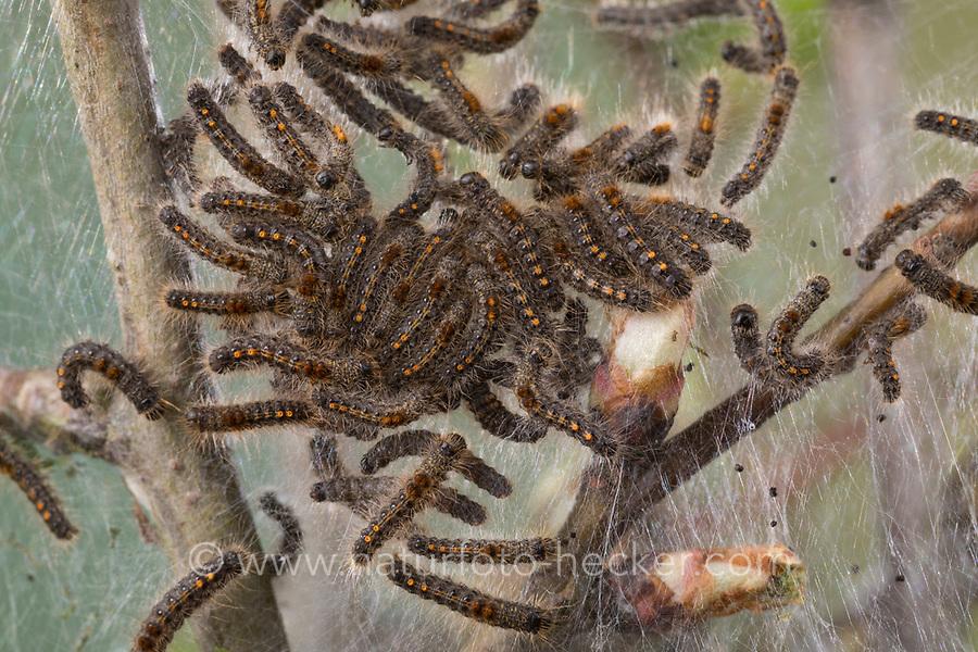 Goldafter, Dunkler Goldafter, Raupe, Raupen, Raupengespinst an Weißdorn, Euproctis chrysorrhoea, brown-tail, browntail moth, caterpillar, le Cul brun, Lymantriinae, Trägspinner, Schadspinner