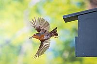 Rotkehlchen, am Nistkasten, Halbhöhle, Halbhöhlenkasten, Abflug mit Kotballen der Küken, fliegend, Flug, Flugbild, Erithacus rubecula, robin, European robin, robin redbreast, flight, flying, Le Rouge-gorge familier