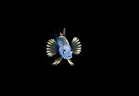 Unidentified larval Harlequin Bass, Serranus species..  Photographed during a Blackwater drift dive in open ocean at 20-40 feet with bottom at 600 plus feet below.  Palm Beach, Florida, U.S.A.  Atlantic Ocean