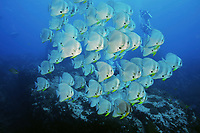 Batfish (Platax orbicularis) swim together at Chumpon Pinnacle, Gulf of Thailand, Thailand