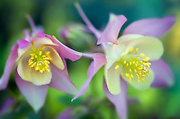 Aguilegia Swan Pink and Yellow Columbine. Al's Nursery, Oregon