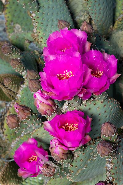 Beavertail Cactus (Opuntia basilaris) blossoms.  Mojave Desert, California.  March.