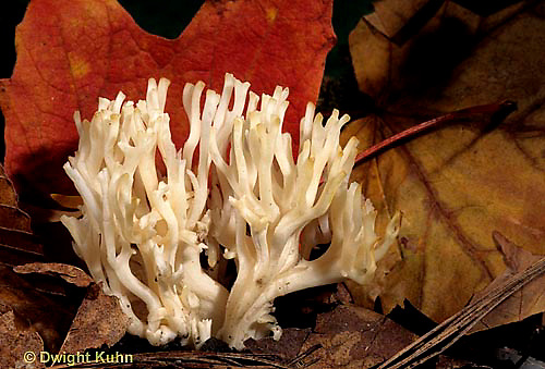 DC16-002a  Mushroom - non-gilled, jellied false coral - Tremellodendron pallidum
