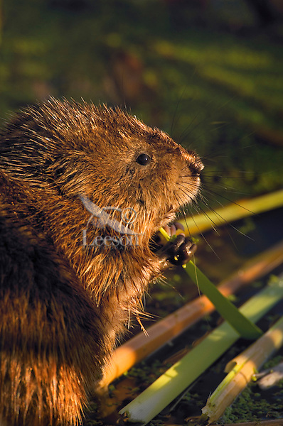 Muskrat (Ondatra zibethicus) eating at dawn. Hillman Marsh. Lake Erie. Ontario, Canada.