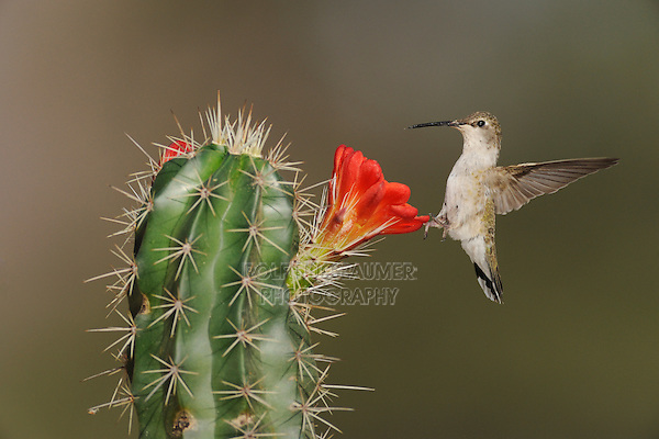 Black-chinned Hummingbird (Archilochus alexandri), adult feeding on Claret Cup Cactus (Echinocereus triglochidiatus), Chisos Basin, Chisos Mountains, Big Bend National Park, Chihuahuan Desert, West Texas, USA