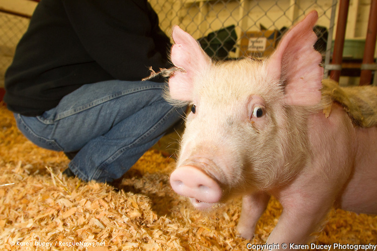 Tom, a Yorkshire piglet who was injured in a barn fire at the Washington State Fairgrounds several weeks ago, is fed marshmallows injected with antibiotics and anti-inflammatory medicine at the fairgrounds in Puyallup by Susan Becker on May 5, 2014.  Tom was badly burned along his back and ears.  It has developed into a large scab.  Becker is co-superintendent of the Traveling Farm and cares for Tom and other animals in the barn. Once healed Tom will be returned to his owner, Kyler Young, who is using him as a breeding boar at his families' farm, Proverty Hill Farm.  The farm has over 600 pigs on it which they sell to 4-H kids.  Tom originally came from a farm in Anacortes.  The Young's paid hundreds of dollars for him. Becker says the fire fighters worked really hard to keep the animals alive.