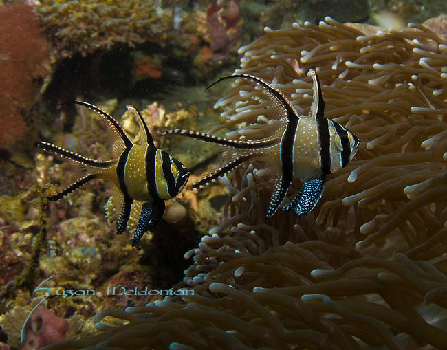 Banggai Cardinalfish, Indonesia, Lembeh, Pterapogon kauderni, underwater marine life