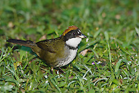 Chestnut-capped Brush-Finch, Buarremon brunneinucha, adult, Bosque de Paz, Central Valley, Costa Rica, Central America, December 2006