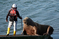 Pictured: Last sighting of Wally the walrus, as an RNLI volunteer tries to get him to move from the boathouse slipway in Tenby, Wales, UK. Monday 17 May 2021<br /> Re: Wally the walrus has been spotted off the coast of Cornwall, the first recorded visit to the region by the mammal in history.<br /> Wally had been enjoying the sun in Pembrokeshire until recently, was spotted by a group on a sea safari near Padstow in Cornwall on Wednesday.<br /> The Walrus, which had been called Wally after spending an extended amount of time in Tenby, is believed to have fallen asleep on an iceberg.