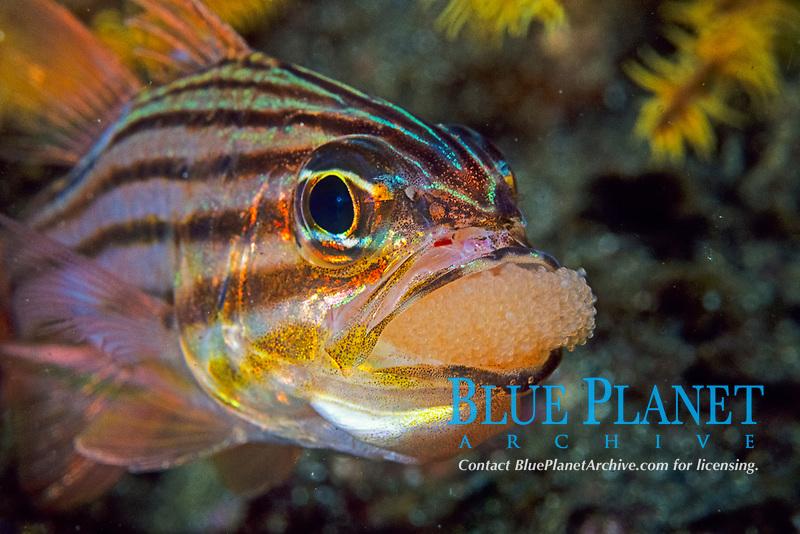 Candystripe cardinalfish, Apogon endekataenia, male mouth brooding eggs, Izu penisula, Shizuoka, Japan, Pacific Ocean