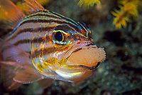 Candystripe cardinalfish, Apogon endekataenia, male mouth brooding eggs, Izu penisula, Shizuoka, Japan, Pacific Ocean