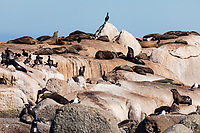 South Africa, Cape Town,Hout Bay harbour,seagulls on the Duiker island