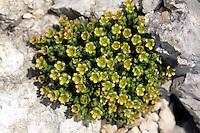Facchinis Steinbrech, Saxifraga facchinii, Saxifraga facchini, Steinbrechgewächse, Saxifragaceae, Facchinis Saxifrage