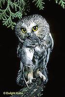 OW03-072z  Saw-whet owl - owl with mouse prey - Aegolius acadicus