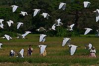 Egrets in farmland near Kandy, Sri Lanka