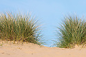 Marram Grass (Ammophila arenaria) growing on dune system at Ainsdale Nature Reserve, Merseyside, UK. May. Photographer: Alex Hyde