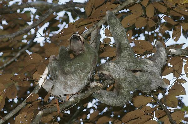 Brown-throated Three-toed Sloth, Bradypus variegatus , males fighting, Manuel Antonio , December 2006