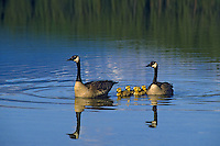 Canada geese (Branta canadensis) family with young goslings.