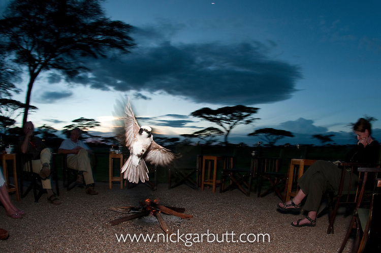 White-crowned Shrike (Eurocephalus rueppelli) feeding on insects around the camp fire. Ndutu Safari Lodge, Ngorongoro Conservation Area / Serengeti National Park, Tanzania.