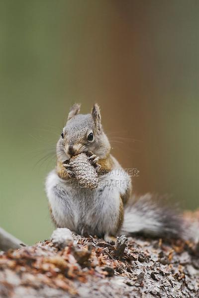 Pine Squirrel (Tamiasciurus hudsonicus), adult eating pine cone, Rocky Mountain National Park, Colorado, USA