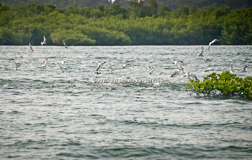 Gull-billed terns and jack crevalle feeding on a school of baitifish in the waters of the Bijagos Islands archipelagus