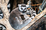 ring-tailed lemur with one month old baby sitting in tree