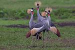 Ngorongoro Conservation Area and UNESCO World Heritage Site, Arusha, Tanzania , Gray crowned cranes