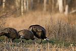 Male eastern Wild Turkey (Meleagris gallopavo) with hen