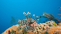 lionfish, Pterois volitans or Pterois miles, an invasive species, Bahamas, Atlantic Ocean