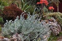 Artemisia pycnocephala, Beach Sagebrush, silver gray foliage California native perennial in UC Santa Cruz Arboretum and Botanic Garden