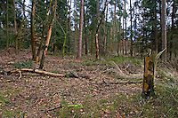 Nadelwald, Wald, Waldboden, Mischwald, Nadelwald aus Fichte und Kiefer, Picea abies, Commun spruce, Christmas Tree, Pinus sylvestris, Scots Pine. Coniferous forest, coniferous woodland, conifer forest