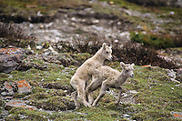 Bighorn sheep lambs playing