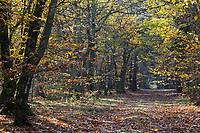 Europe/France/Centre/41/Loir-et-Cher/Sologne/Env de Chaumont-sur-Tharonne: La forêt solognote à l'automne  // Europe/France/Centre/41/Loir-et-Cher/Sologne/Near Chaumont-sur-Tharonne:  Sologne forest in autumn