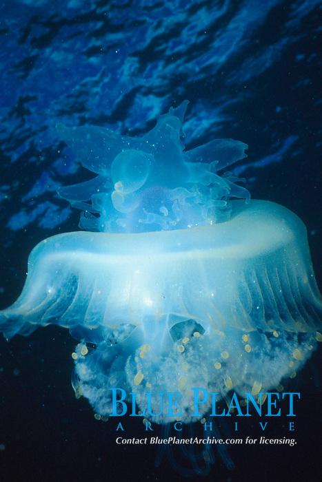 crowned jellyfish Cephea cephea Oahu, Hawaii, USA, Pacific Ocean