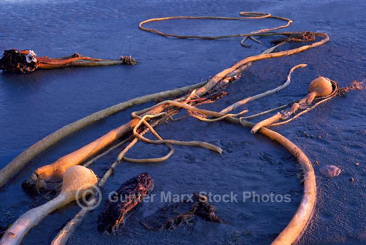 Dead Bull Kelp (Nereocystis luetkeana) on Sandy West Coast Beach, Vancouver Island, BC, British Columbia, Canada
