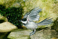 Black capped chickadee, Parus atricapillus, drying off and shaking the water after a bath in garden pool, summer,  Midwest USA