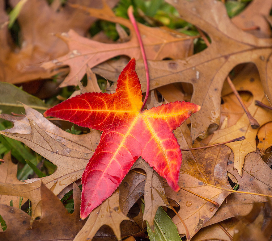 Red Fall Leave.