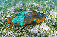 rainbow parrotfish, Scarus guacamaia, terminal phase male, with sharksucker, remora, or slender suckerfish, Echeneis naucrates, in bed of turtle grass (seagrass), Thalassia testudinum, Hol Chan Marine Reserve, Ambergris Caye, Belize, Central America (Western Caribbean Sea)
