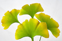 Fall colored Ginko Leaves (Ginko biloba). Tigard, Oregon