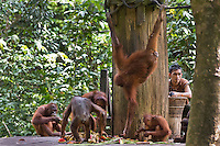 Orangutans feed on fruit provided by a ranger at the Sepilok Orangutan Rehabilitation Centre in Sabah, Borneo. Orangutan numbers continue to decline as Borneo's tropical forests are cleared to make way for palm oil plantations. The r49sq km ehab centre provides shelter for orphaned, wounded, or dislocated oragutans to recover before reintroduction to the wild.